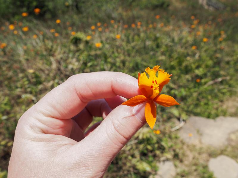 Orchidée orange sur le volcan Mombacho au Nicaragua