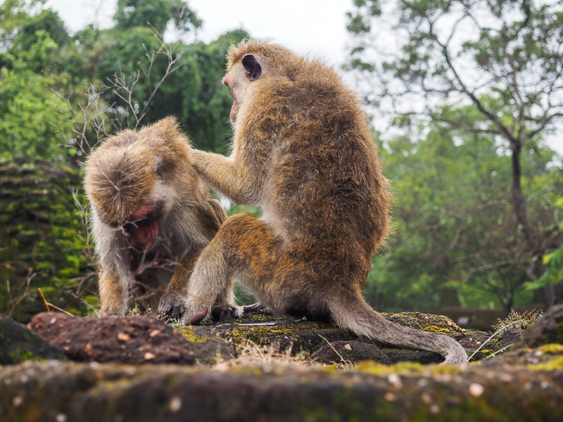 Les singes du Sri Lanka