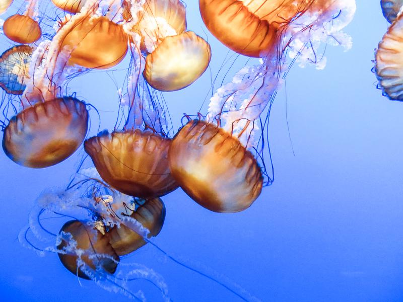 Méduses à l'aquarium de Monterey Bay. vu lors d'un road trip en Californie