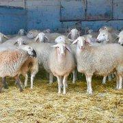 Assaf Sheep at Quesos de Leyva