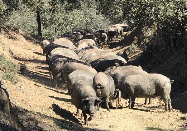 iberico pigs in andalucia