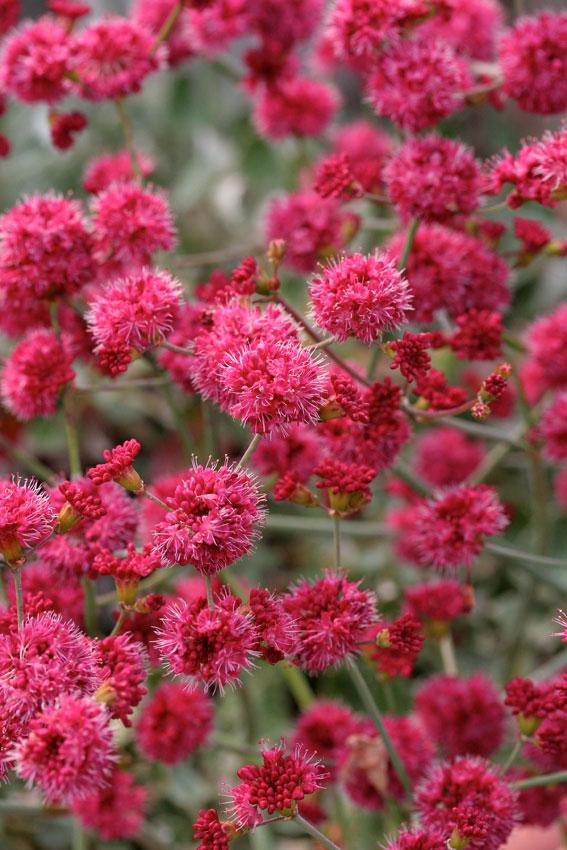 Heuchera canyon duet, native plants