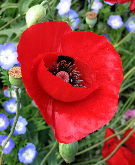 Papaver glaucum  Tulip Poppy    Buy Online at Annie s Annuals The huge  single  stained glass red flowers of this rare Turkish poppy are  a delight  and so is the rest of the plant   a bushy  3  tall and 3  wide  thing