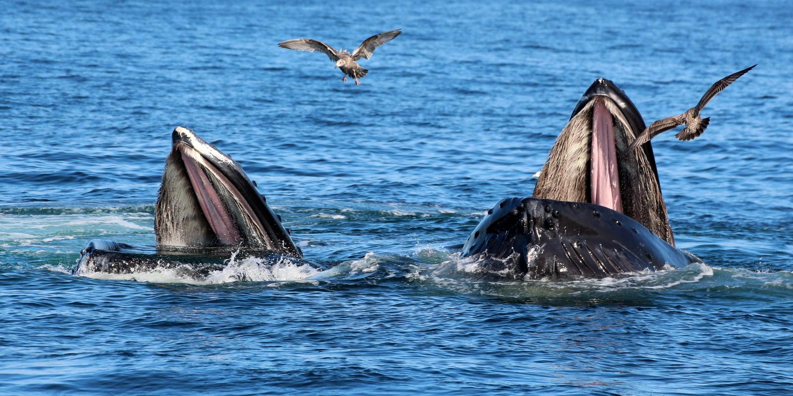 Feeding humpback whales