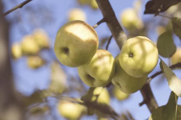 ingredients apple extract