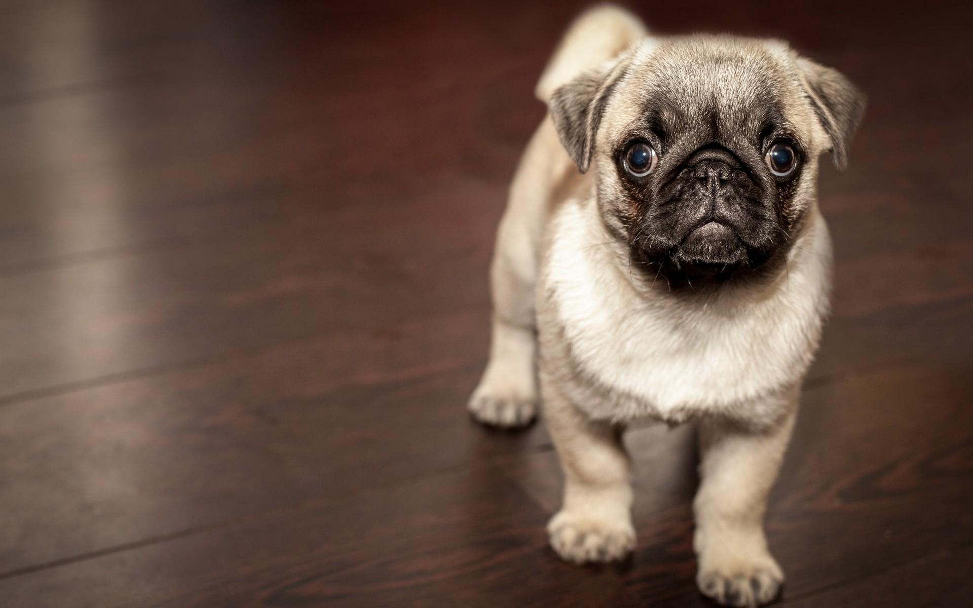 fonds d ecran chiens chiots gratuits