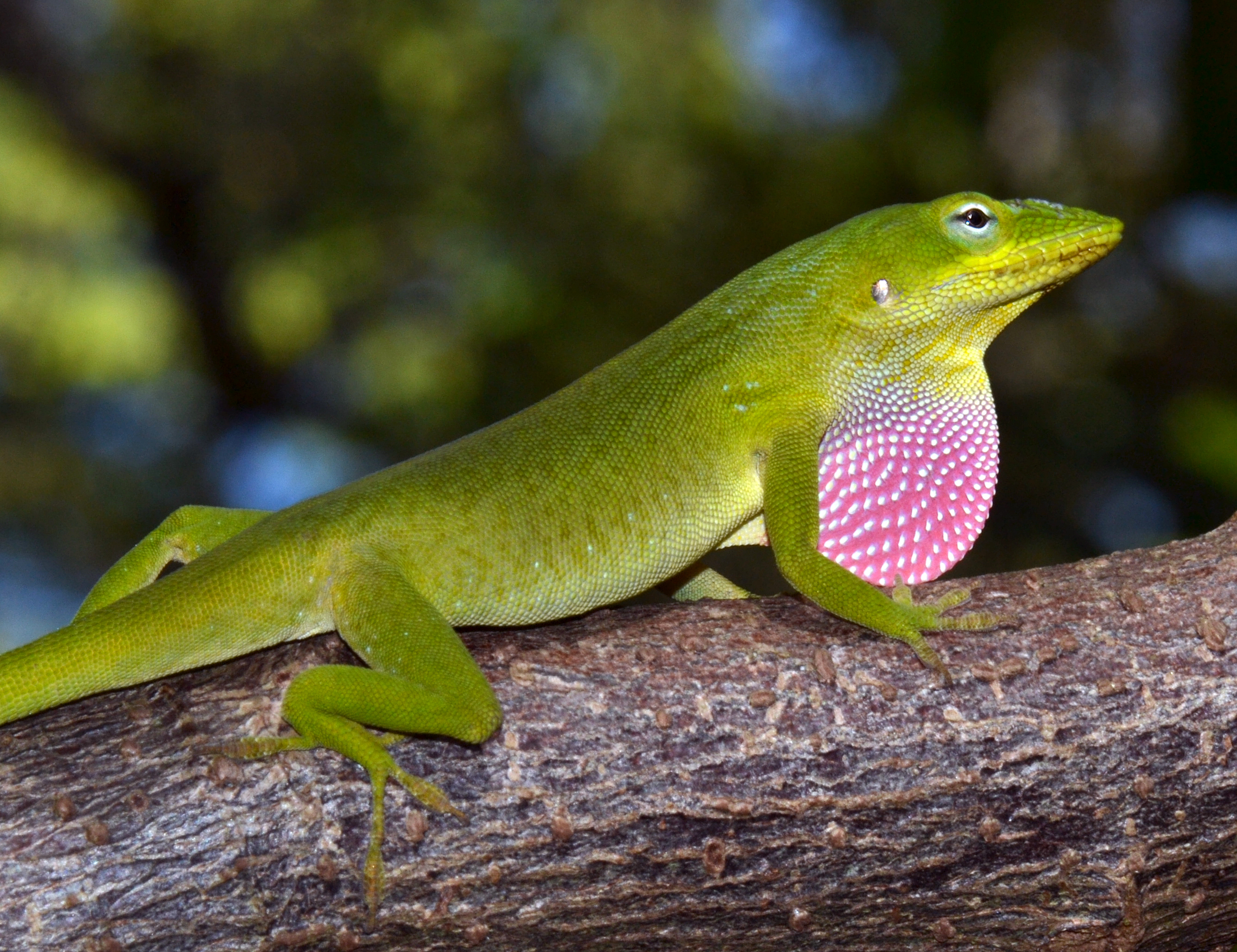 geographic variation in body size and cells in anolis carolinensis
