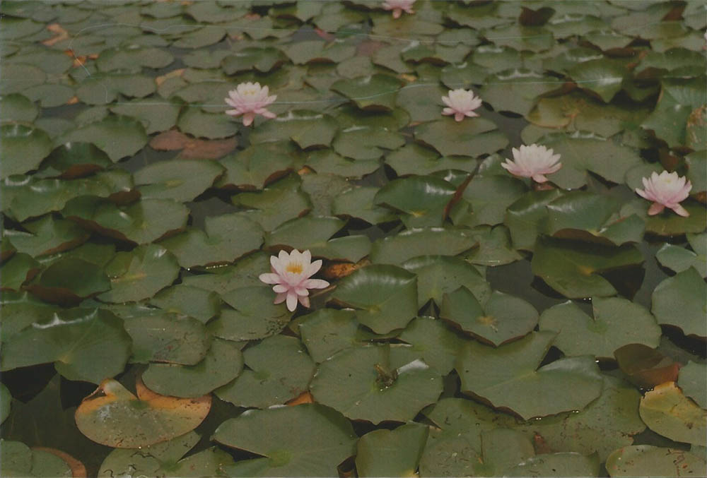Water Lillies in the Castle Arcen garden