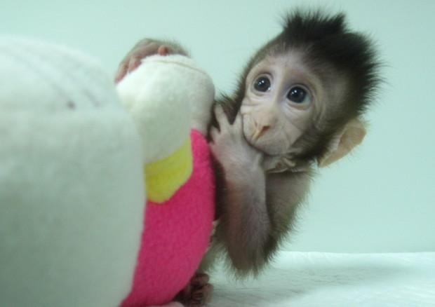 Zhong Zhong, una delle due scimmie clonate con la stessa tecnica con cui è stata ottenuta la pecora Dolly (Qiang Sun and Mu-ming Poo / Chinese Academy of Sciences) © Ansa