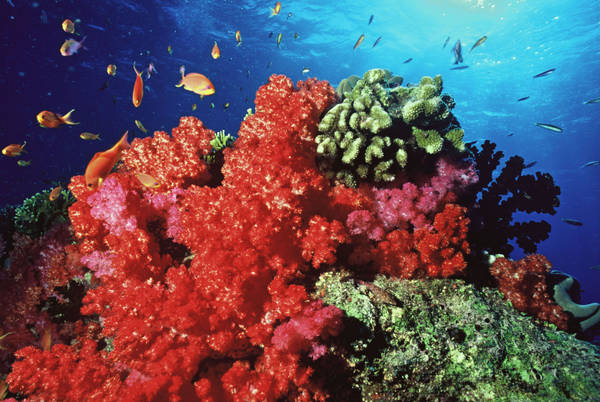 Nasce in Australia banca dello sperma per salvare i coralli