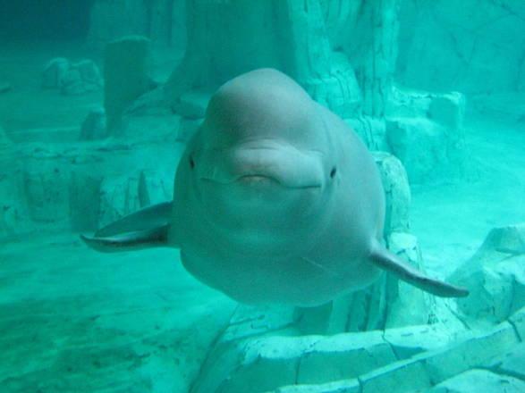 Una balena bianca nell'acquario di Valencia (fonte: Carquinyol)