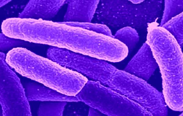 I batteri utilizzati nell'esperimento sui biocombistibili (fonte: Brookhaven National Laboratory)
