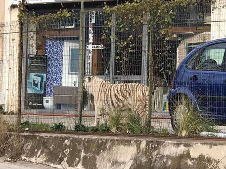 Monreale, scappa la tigre dal circo FOTO e VIDEO
