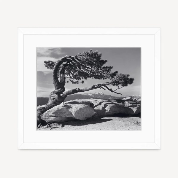 Jeffrey Pine, Sentinel Dome by Ansel Adams