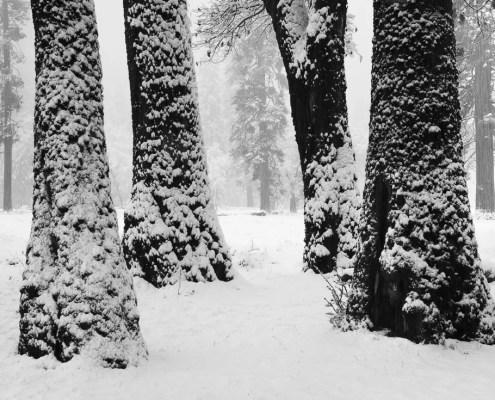 Evan Russel Snow Caked Oaks, Yosemite National Park