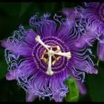 Ansia e Passiflora: Un Rimedio Naturale