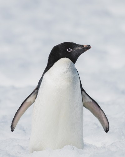 Adelie penguin in Antarctica. Photography by Anais Rekus.