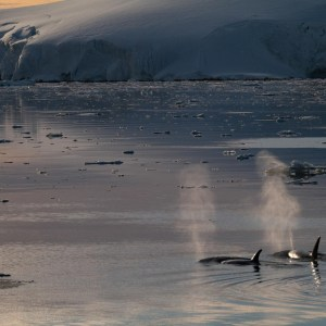 Orcas in Antarctica. Photography by Keegan Pearson, on a Classic Antarctica Air-Cruise.