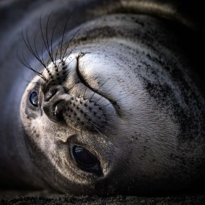 Close up portrait of a seal in South Georgia. Photography by Ruslan Eliseev, for Antarctica21.