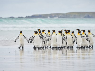 Meet King penguins on a white sand beach in the Falklands, on your Antarctica21 Sea Voyages to the Sub-Antarctic regions