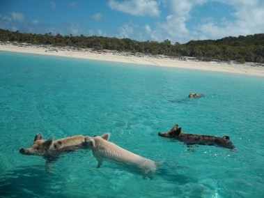 Swimming pigs (1)