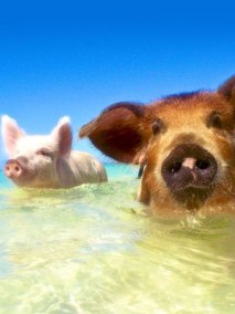 Swimming with the pigs, Bahamas, Antares Yacht