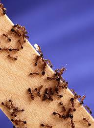 Home Remedies For Red Ant Bites