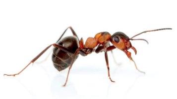 Fumigar hormigas en Santa cruz de Tenerife