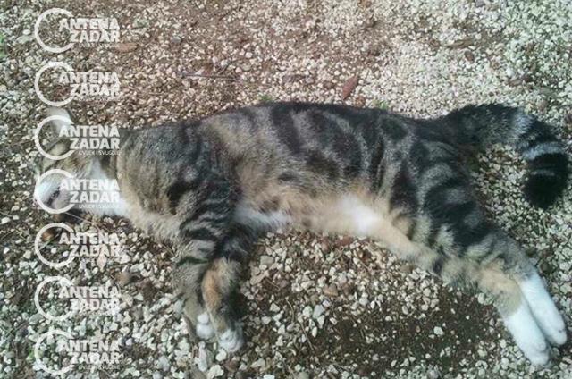 Otrovana mačka Bibinje 3