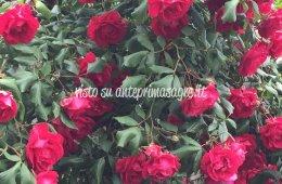Sagra delle Rose e del Tortellino a Ponzano Veneto