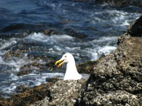 catalina_seagull-close