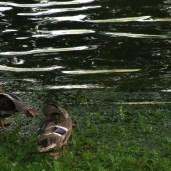 Kiel ducks