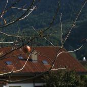 Fruit hangs from a bare tree in Meiringen