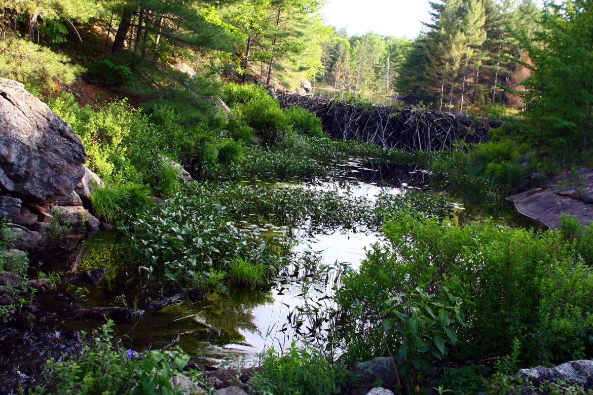 Photograph of a green and rocky forest in Canada, showing a beaver dam almost 2.5m high