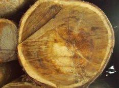 acacia-mangium-logs3