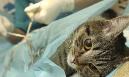 Esterilización gratuita de mascotas en Sopetrán