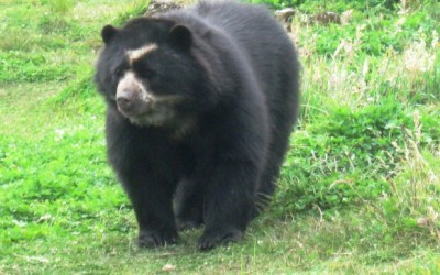 Cámaras monitorean el oso de anteojos en Betulia