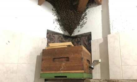 Rescate de abejas africanizadas en Sopetrán
