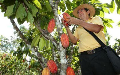 7.673 millones recibirá Antioquia para sustituir cultivos ilícitos por cacao