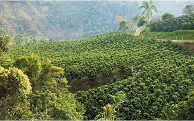 En Abejorral se sembrará 520 mil árboles