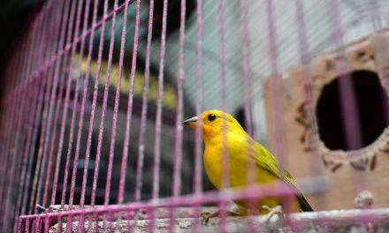 46 aves víctimas del tráfico de fauna silvestre, entregadas al Área Metropolitana