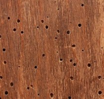 Example of woodworm damage in wood