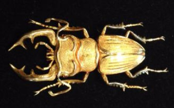 gold stag beetle brooch