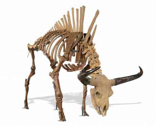 Dinosaur skeleton of an auroch