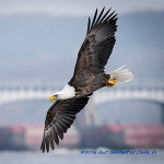 There are Eagles Flying Around LeClaire, Iowa: Here's How to See Them