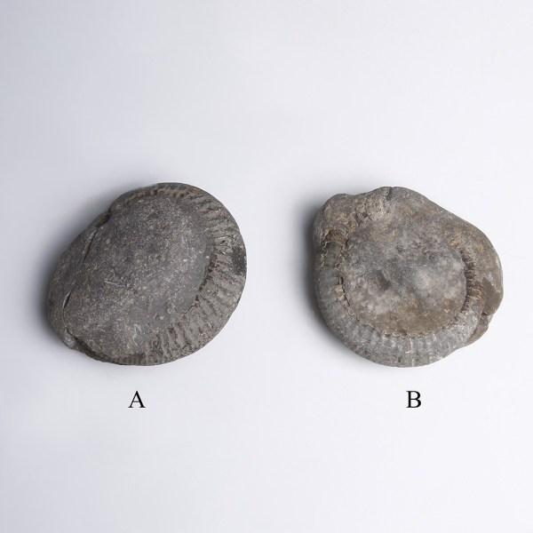 St Hilda's Serpent Ammonites