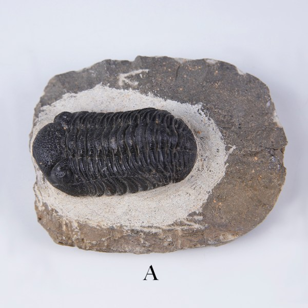 selection of phacops trilobites a