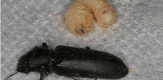 kumbang penggerek (2)