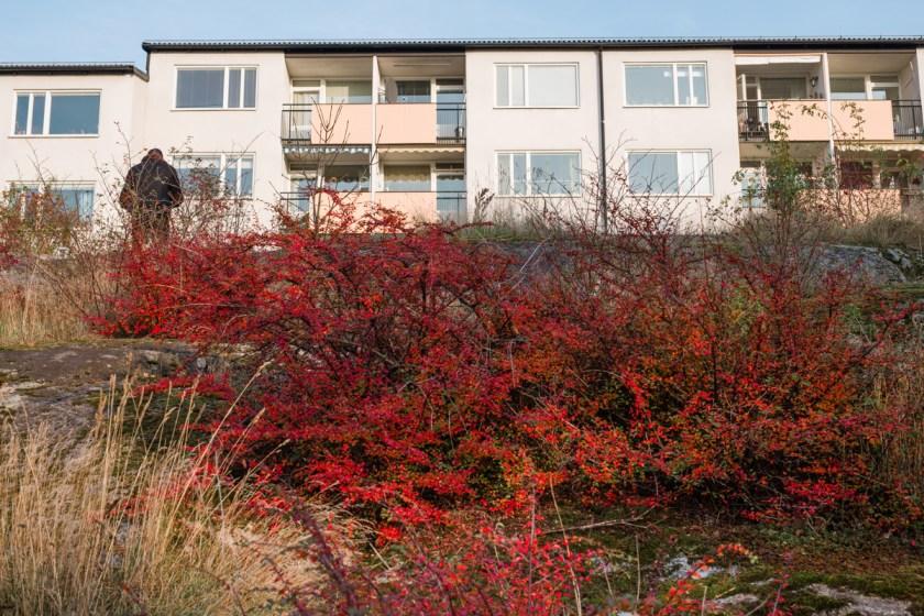 stockholm_rosehip_autumn-21