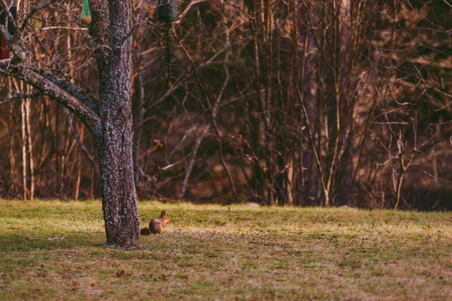 Ekorren i trädgården hemma hos päronen
